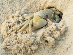 ghost_crab